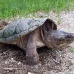 Northern Kirsch Snapper Turtle